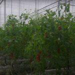 REPORTÁŽ: Zrybích hovínek pěstují šťavnatá rajčata a papriky! Návštěva supermoderní farmy