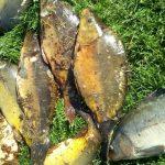MASAKR: Rybář si ponechal 9 kaprů ze svazovky! Rybářská stráž mu zadržela povolenku