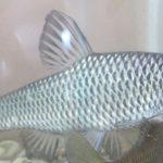 Zákaz nástražních rybiček: Milovníci dravých ryb mají smůlu! Tyhle nástražní rybičky jsou zakázané!