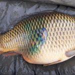 Věhlasný revír zuří: Neopatrný rybář zlomil velkému kaprovi žebra! Ryba spadla mimo podložku