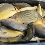 NASAZOVÁNÍ RYB: Rybáři do svazových vod nasadili přes 10 000 kilo kaprů! Letní nasazování vrcholí!