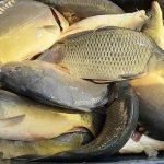 NASAZOVÁNÍ: Rybáři do revírů pustili tuny kaprů! Podzimní nasazování ryb odstartovalo!
