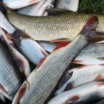 Katastrofa! Konečný účet úhynu na Bečvě? V řece po úniku jedu uhynulo 40 tun ryb