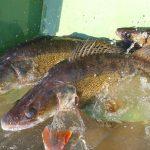 Konečně je to tady! Rybáři zavádí na oblíbené pískovně horní míru dravců! Mělo by to být všude?