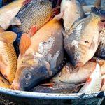 NASAZOVÁNÍ: Rybáři nasazují do svazových revírů poslední tuny ryb! Kde si chytit vánočního kapra?