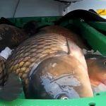 Hyenismus! Celníci odhalili 300 kilo živých kaprů vbednách sledem! Velká část ryb nepřežila