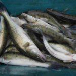 NASAZOVÁNÍ: Rybáři nasadili přes 2miliony ryb za více jak 33 milionů korun! Co nasazovali?