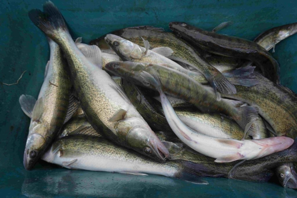 Rybáři do revírů nasadili tisíce candátů! Nechyběly ani tuny nových kaprů