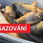 Jarní nasazování je tady! Rybáři do svazovek sypou tuny kaprů! Kde se nasazují ryby?