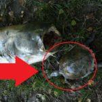 Revíry na Moravě trápí želvy! Vminulosti se kvůli želvě udusil i velký sumec