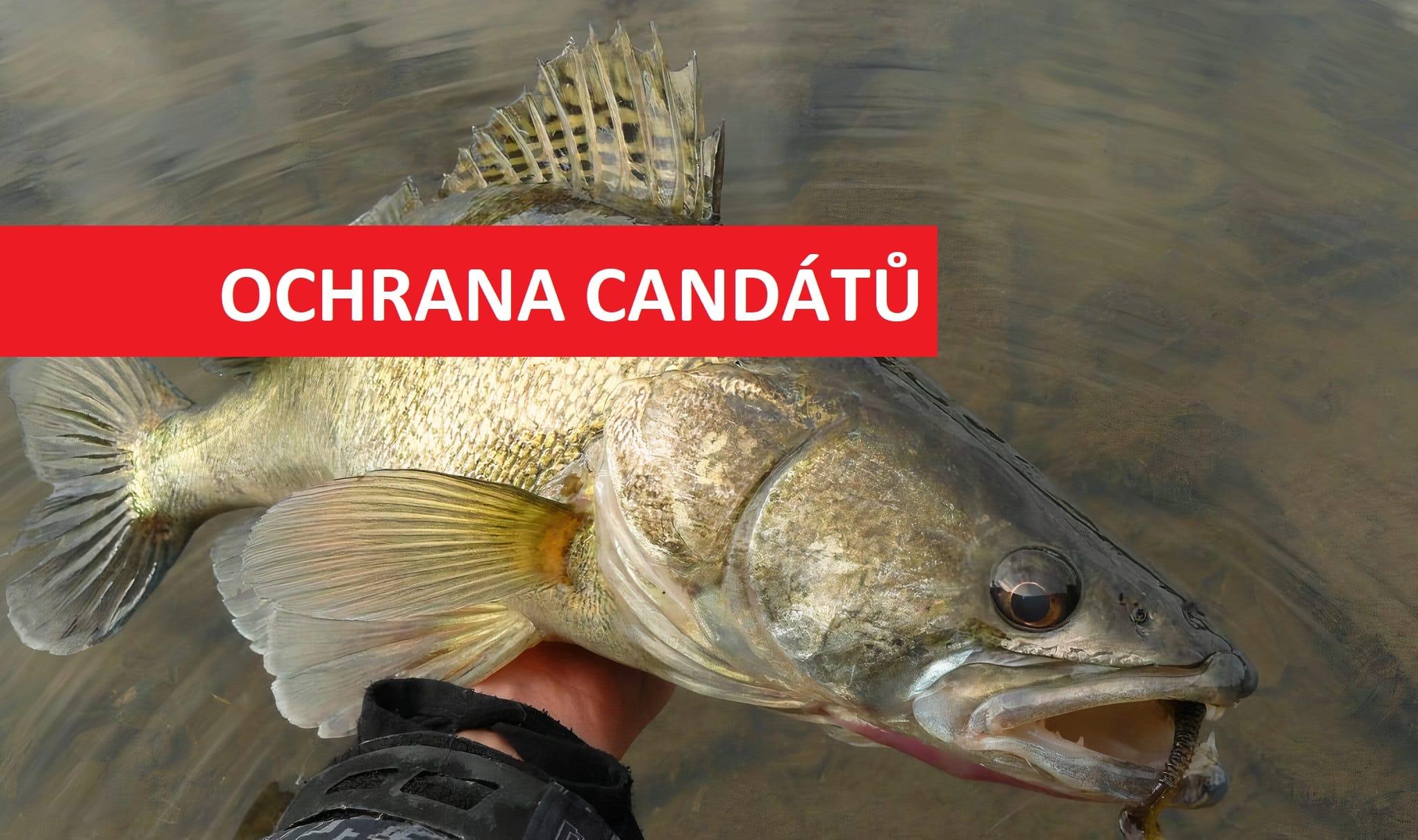 Konec masakrování candátů? Rybáři chystají přísnější pravidla na TOP revíru v Čechách!