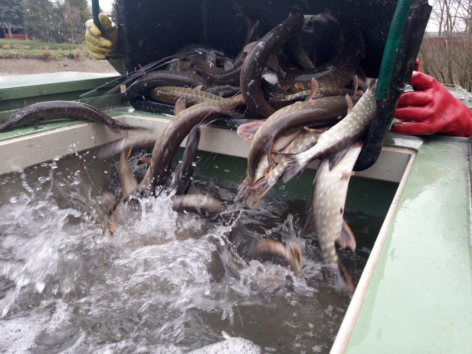 Rybáři připravují tvrdé kontroly! Konec možným podvodům při nasazování ryb?