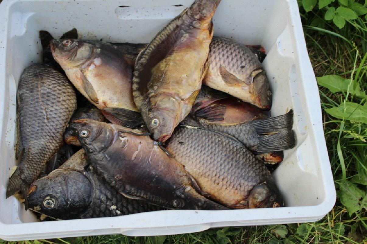 Šílenost! Rybář si nechal 12 podměrečných kaprů! Utekl před policií