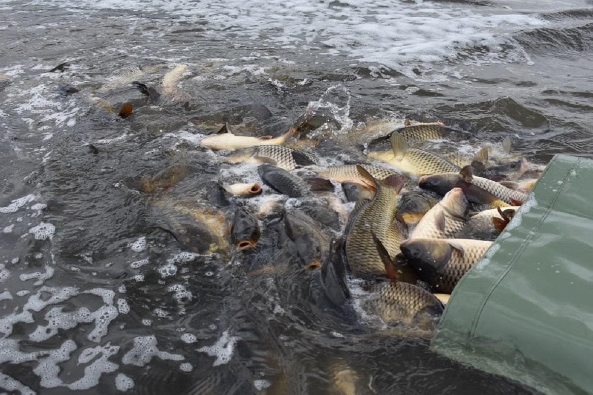 Ryby za 225 miliónů korun! Rybáři do svazových revírů nasadili přes 1,7 miliónů ryb!