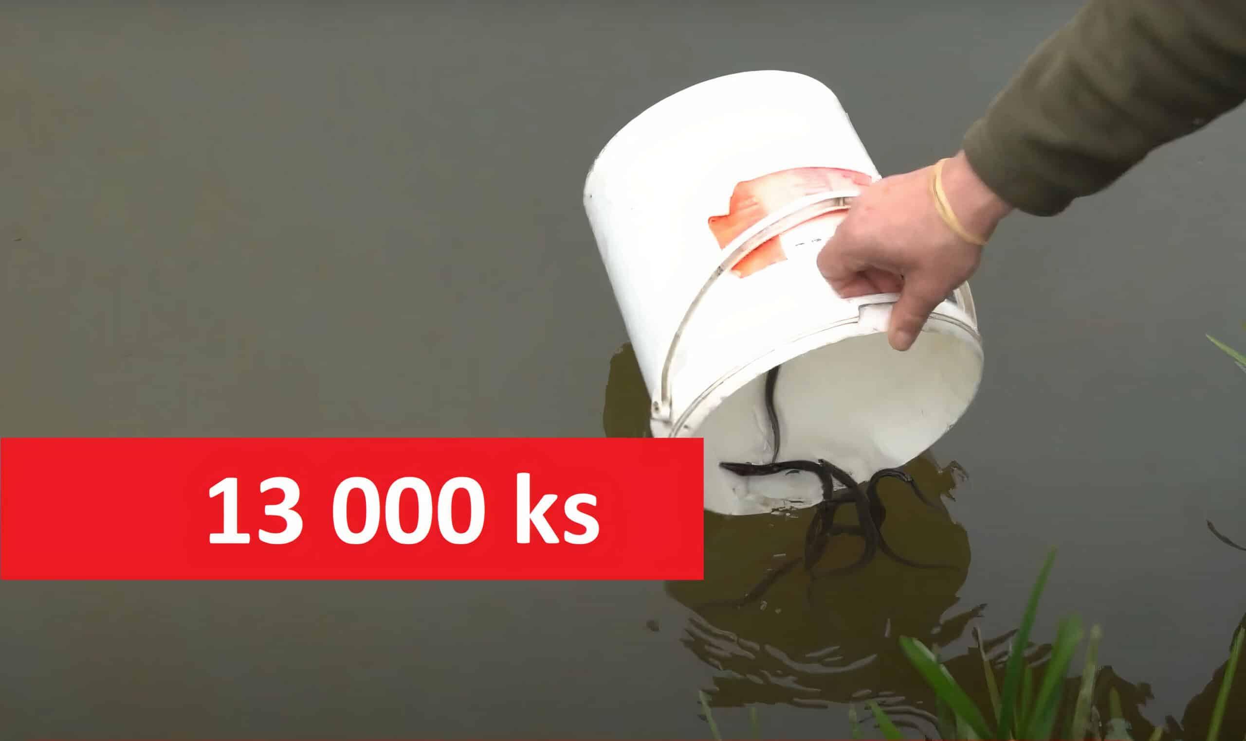 Zlatí úhoři včeských revírech: Reportáž zvysazování 13000 odkrmených úhořů