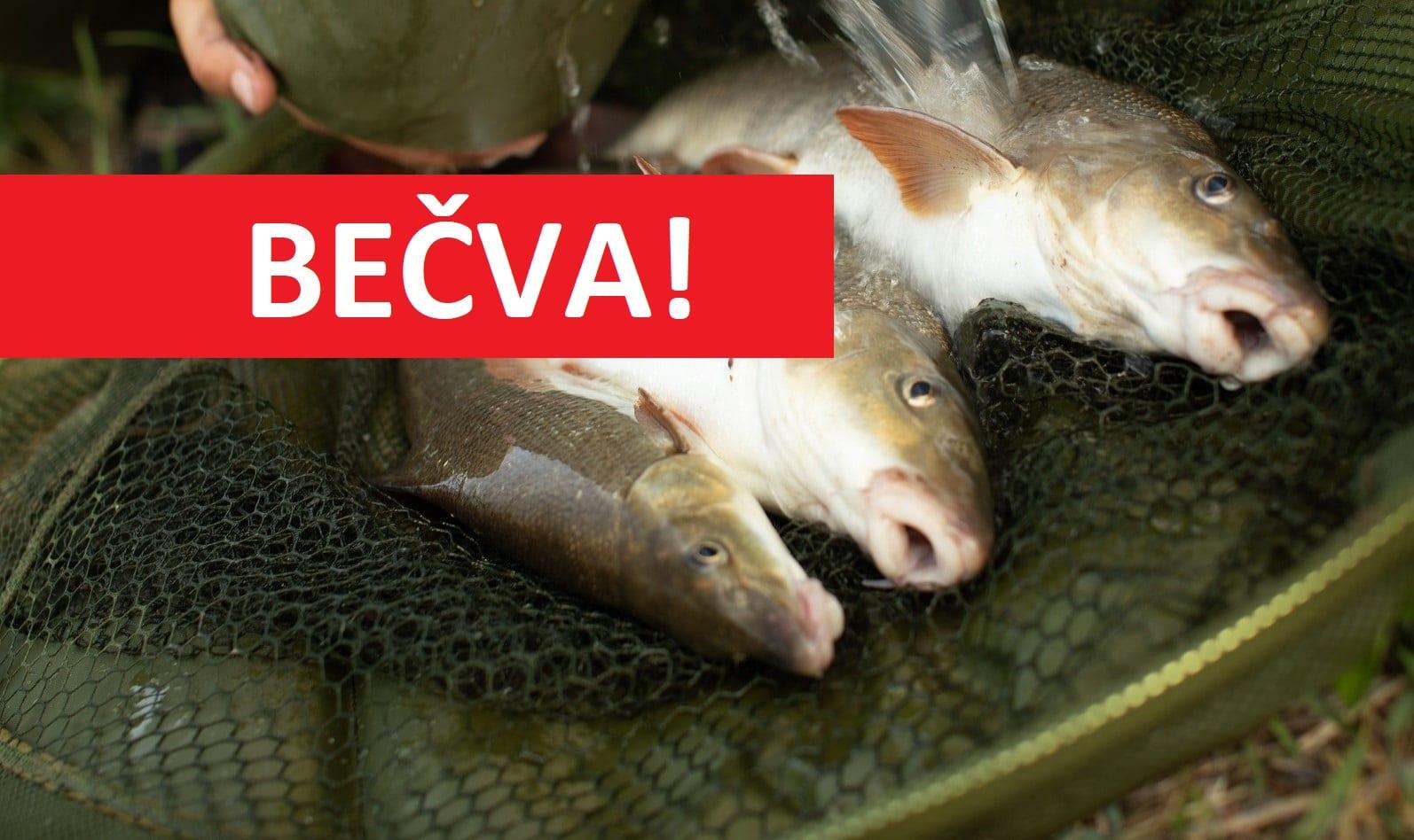 Rybáři obdrželi přes 1,6 milionů korun na Bečvu! Co za tyto peníze nakoupili?