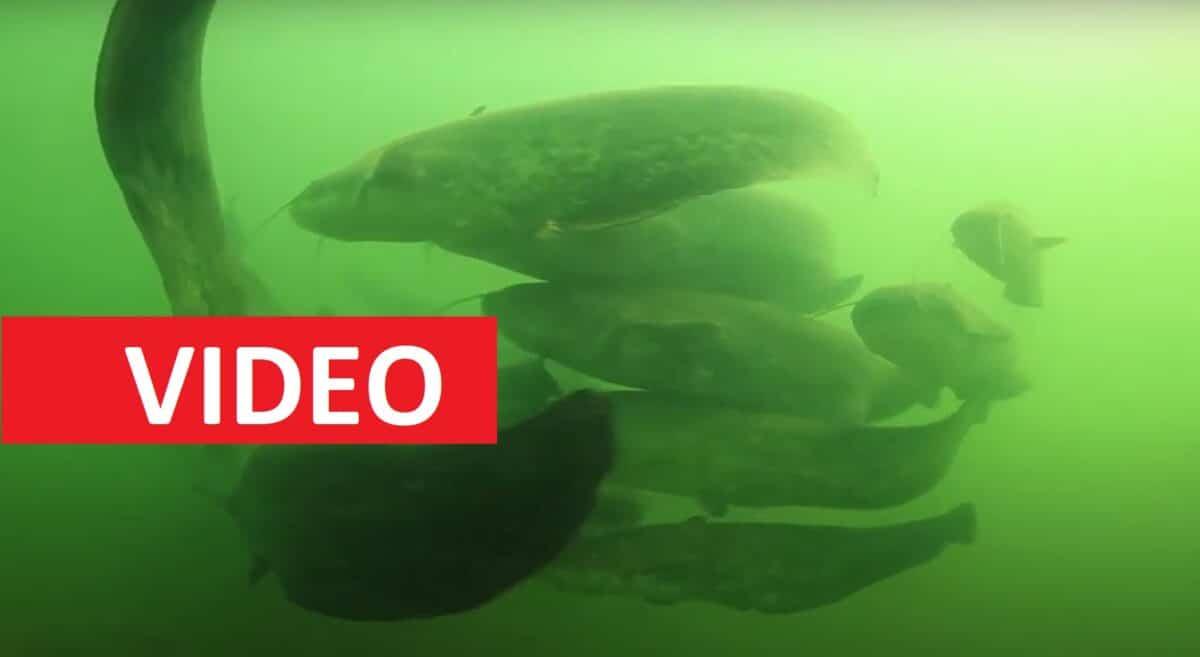 """VIDEO: Obrovské hejno sumců! Nádherný rybí """"tanec"""", který jste ještě neviděli"""