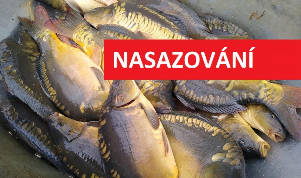 NASAZOVÁNÍ RYB: Rybáři do svazovek rozvezli tuny kaprů! Kde se nejvíce nasazovalo?