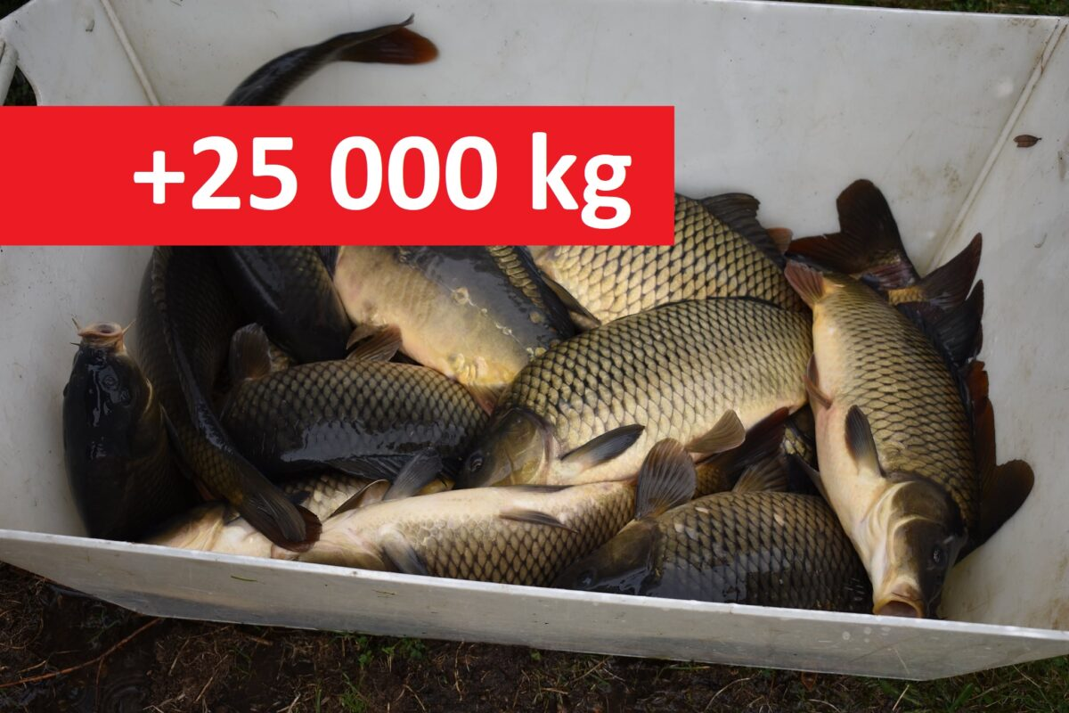 Více jak 25 000 kilo nových kaprů! Podzimní nasazování ryb je v plném proudu!