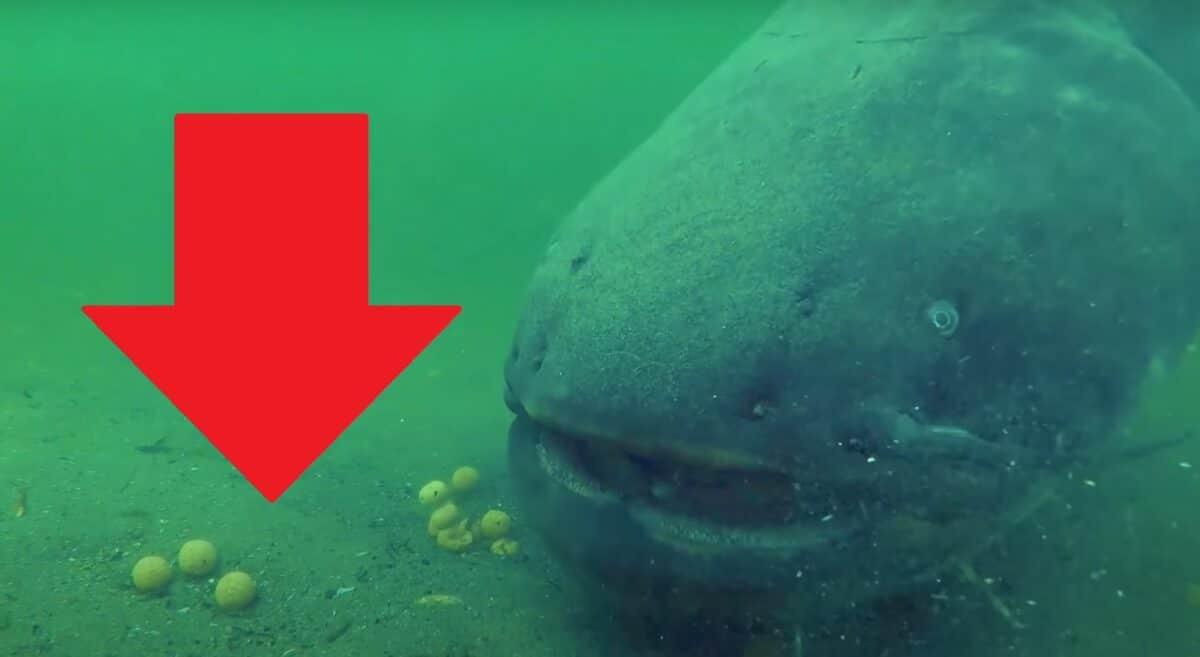 VIDEO: Obrovský sumec žere boilies! Jak to vypadá, když obsadí místo predátor?