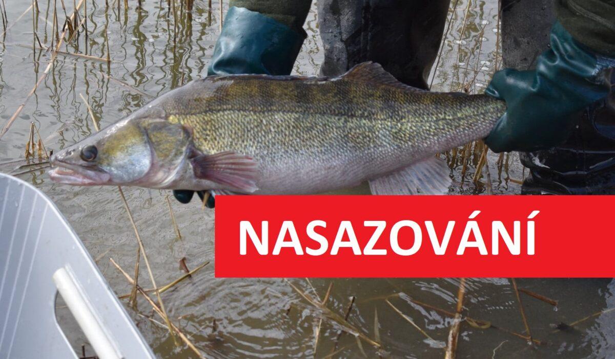 Nasazování candátů: Zarybňovací plány výrazně překročeny! Rybáři rozvezli hromadu dravců