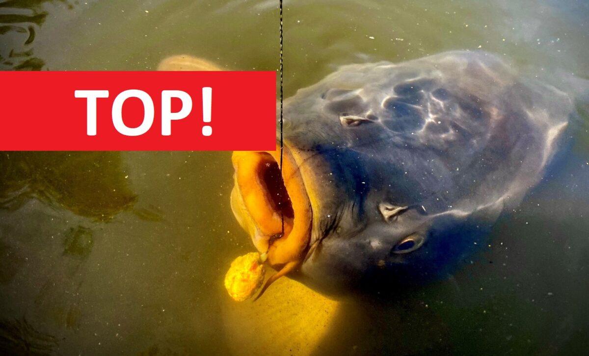 Podzimní chytání kaprů na krmítko: TOP nástraha na kapry do studené vody! Na tohle to bere