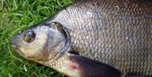 Biologie ryb – Endokrinní systém