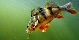 Biologie ryb-Nervová soustava a bolest