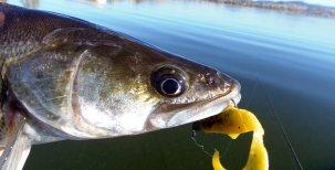 Biologie ryb – Smyslová ústrojí – zrak