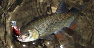 Biologie ryb – Statoakustické ústrojí