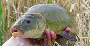 Je lín naše nejhezčí ryba?