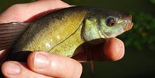 Stromové ryby