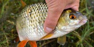 Ryby ujíždí na česneku