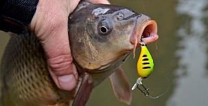 Kaprovité ryby ulovené na přívlač
