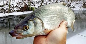 Dají se ryby chytat vproudu i v zimě?