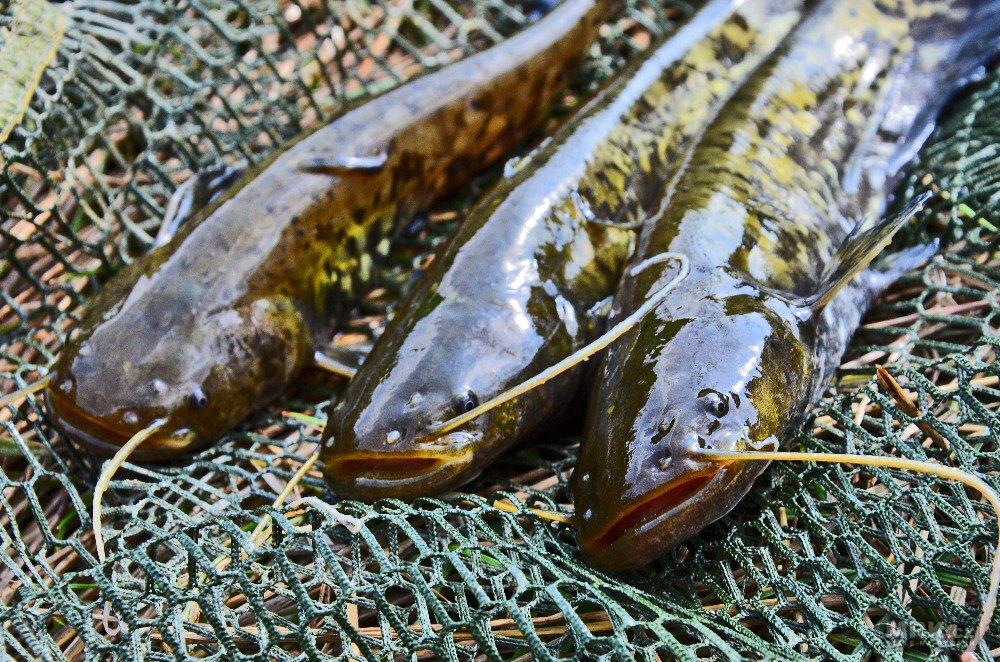 Zlobiví sumci – ryby, kterých je dnes místy až moc