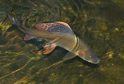 Jaké vidíte příčiny úbytku lipana v rybářských revírech? (pokračování)