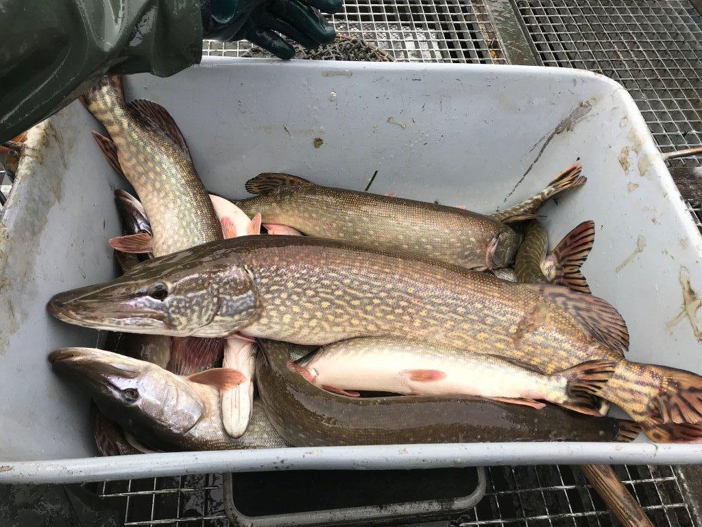 Obrazem: Vrcholí vysazování ryb do revírů Rady