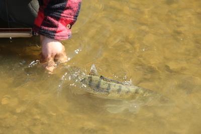 ODEMČENÝ ČLÁNEK Z RYBÁŘSTVÍ: Chyť a pusť? Skoro pětina ryb uhyne