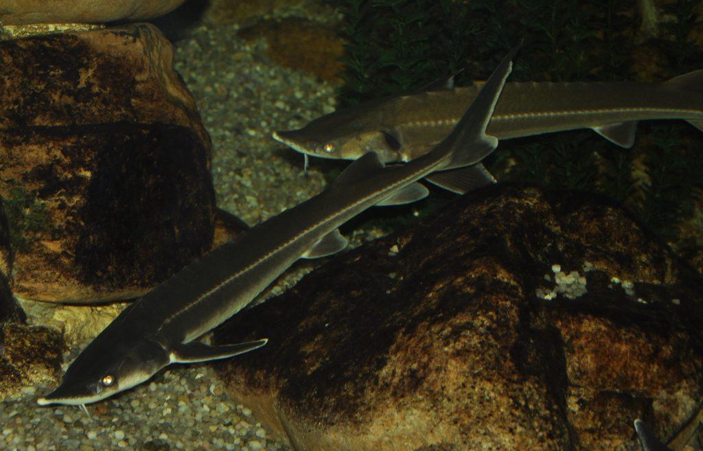 Reprodukční skupiny našich ryb