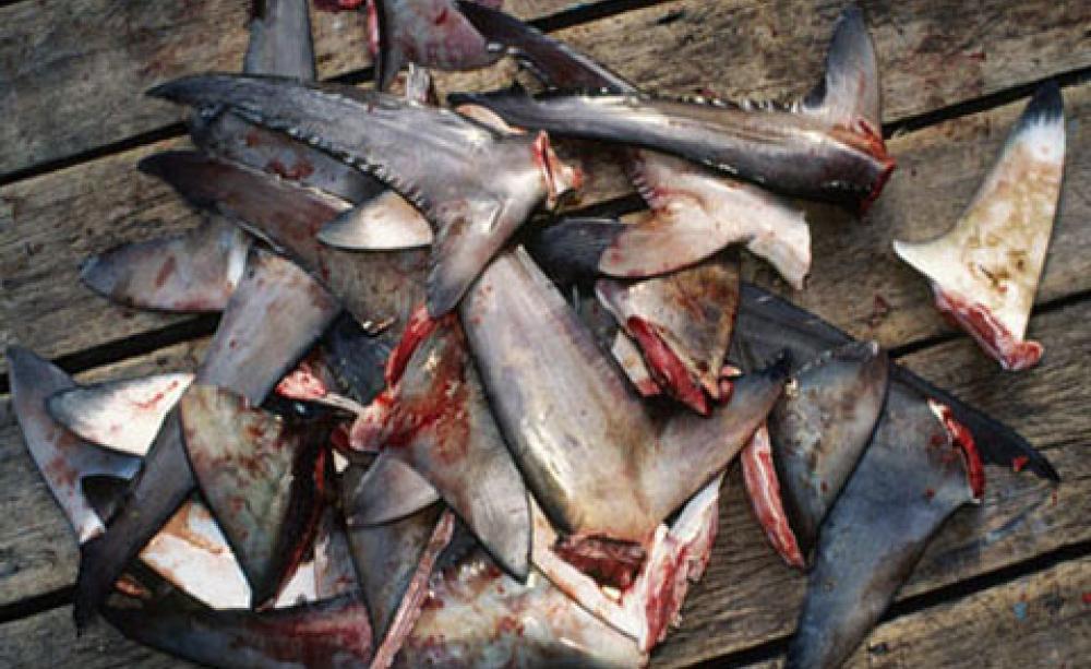 Celníci v Hongkongu zabavili žraločí ploutve za rekordních 214 milionů