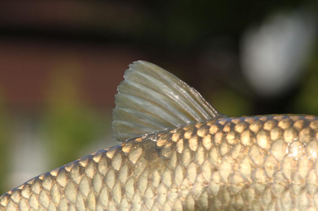 Ke kterým rybám patří tyto hřbetní ploutve?