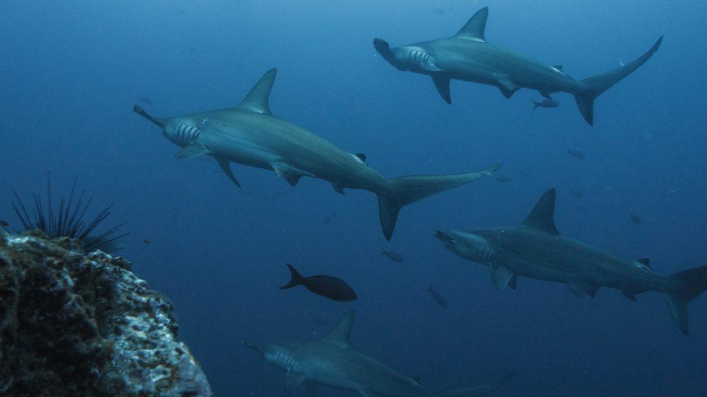 Tým vědců natočil neuvěřitelné záběry! Zachytil žraloky v kráteru aktivní sopky