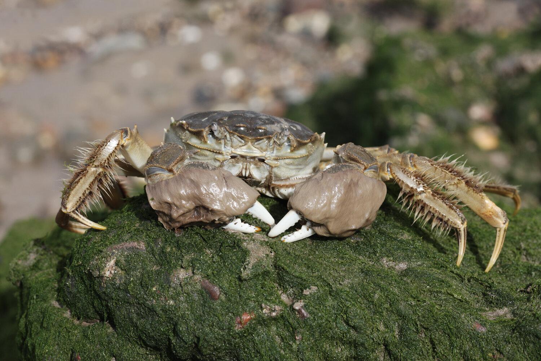 V Anglii spoléhají na pomoc rybářů. Žádají je o hlášení nepůvodních druhů