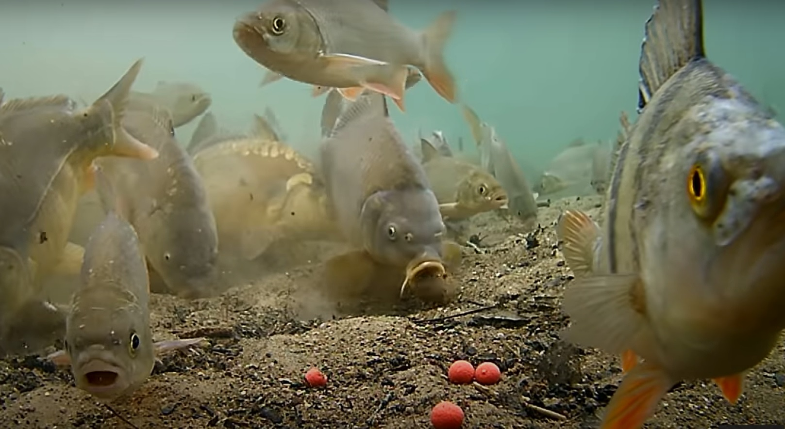 Neuvěřitelné video ze svazového rybníka. Pestrost rybí obsádky vás dostane!