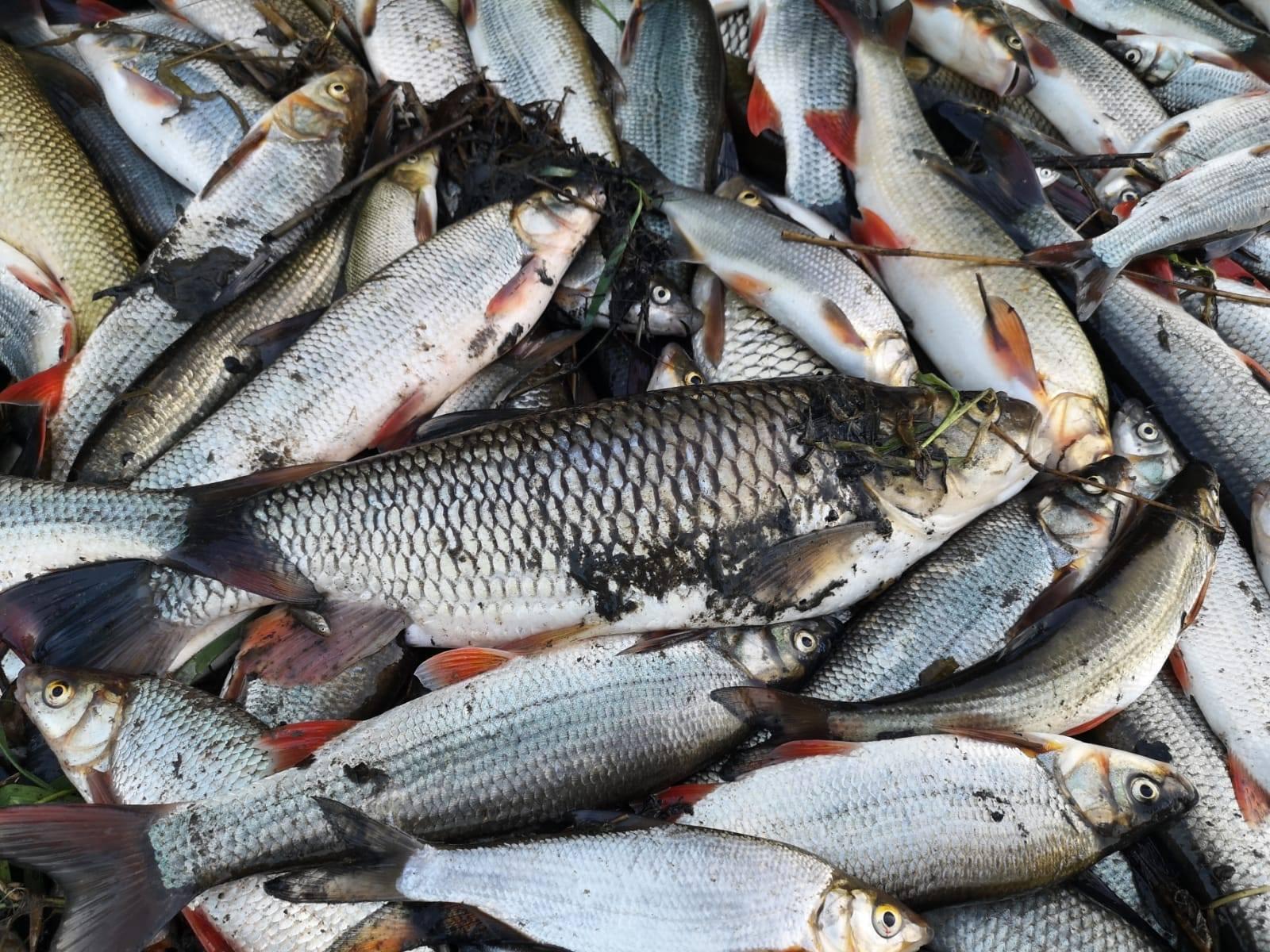Ryby v Bečvě otrávily kyanidy. Potvrdily to rozbory vody