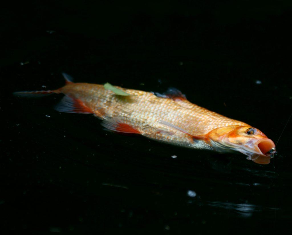 Splněné přání od ulovené zlaté rybky aneb Lov na Labské