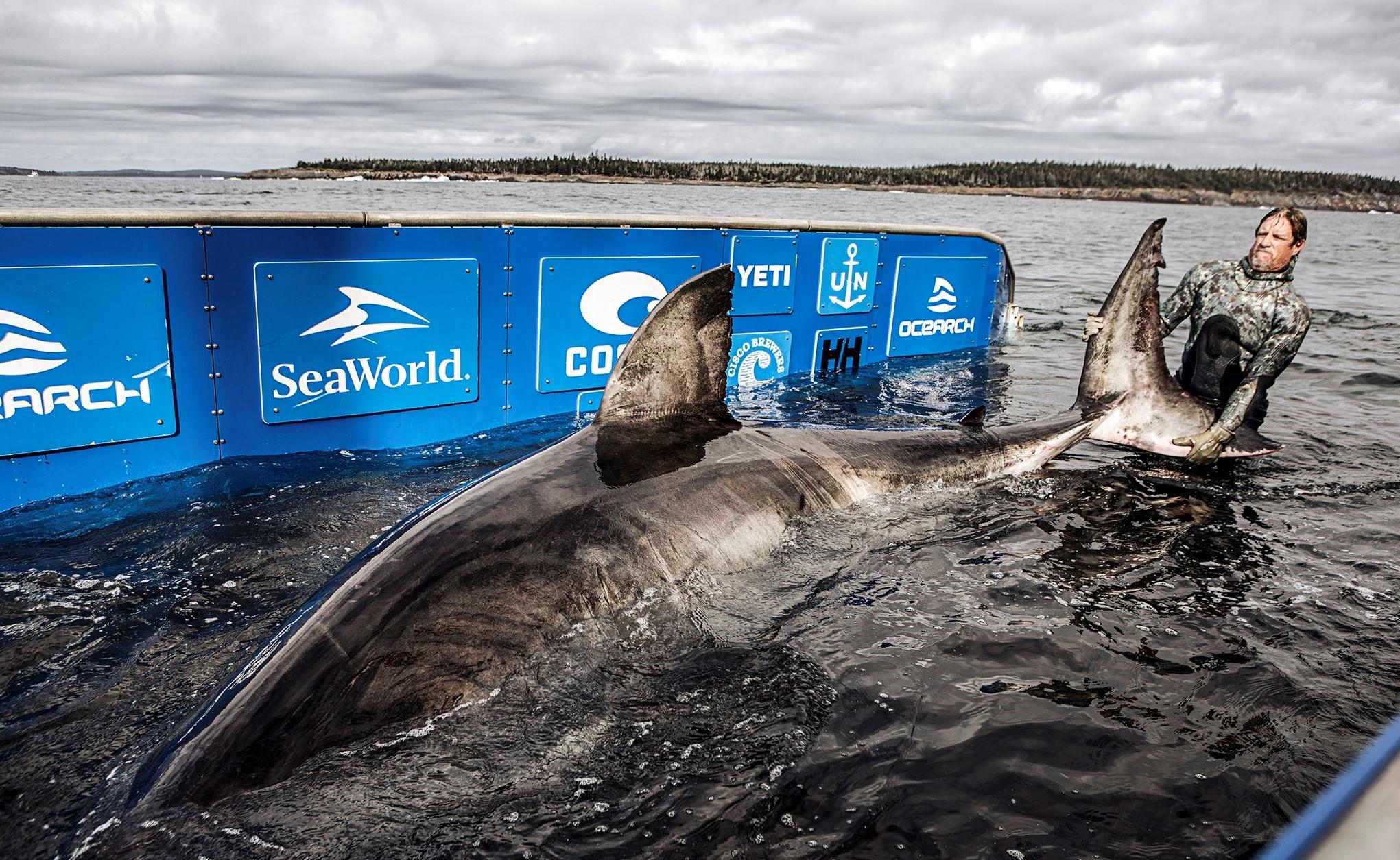 Vědci ulovili rekordního žraloka bílého. Váží 1,6 tuny a je mu přes 50 let