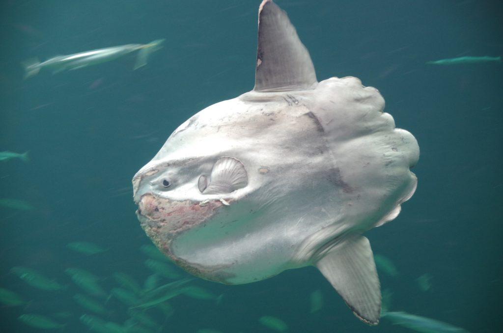 Nejtěžší ryba planety váží přes 2 tuny. Tipnete, která to je?