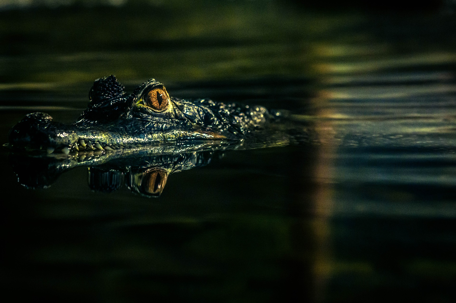 V nouzi poznáš přítele. Muž holýma rukama ulovil aligátora a zachránil psa